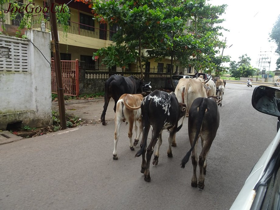 47 cattle rescued from truck in Nagpur after dramatic chase