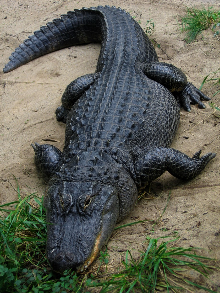 American alligator with knives in its head swimming in Texas Lake