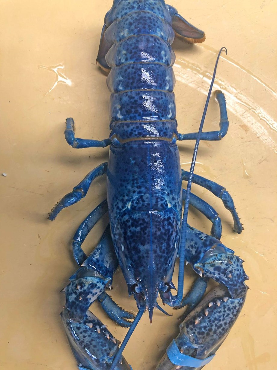 Rare 'Blue Lobster' discovered by restaurant owner in seafood shipment