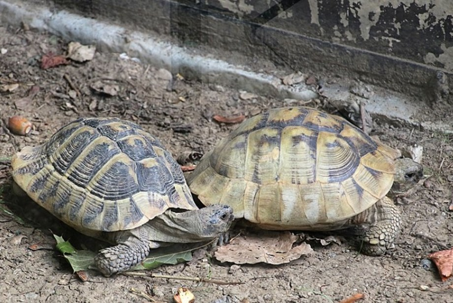Egyptian arrested in Tanzania for smuggling live tortoises