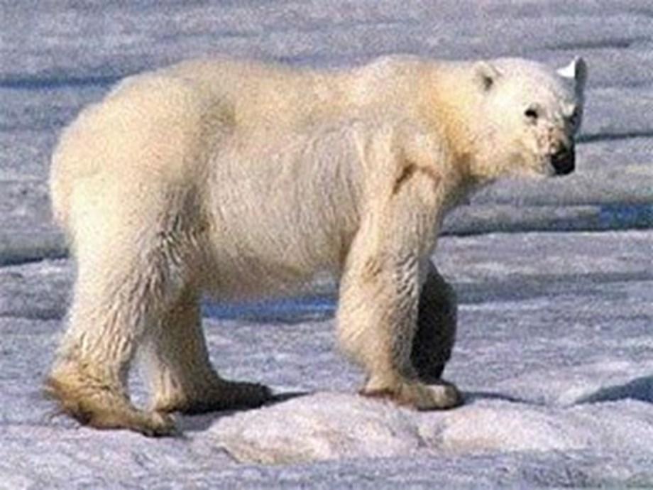 Alaska scientists say polar bear encounters to increase
