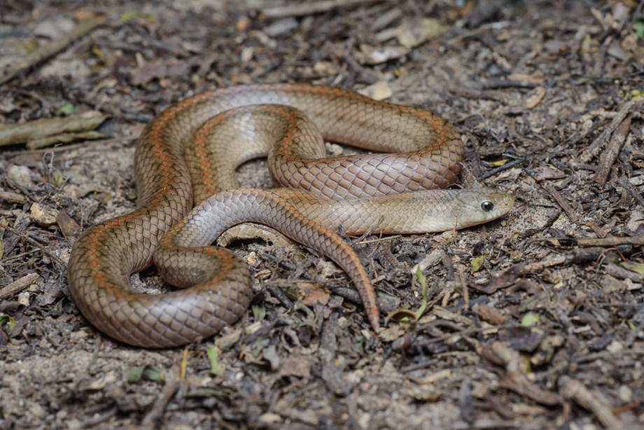 'Hidden health crisis' gets $102M funding to research on snakebites treatment
