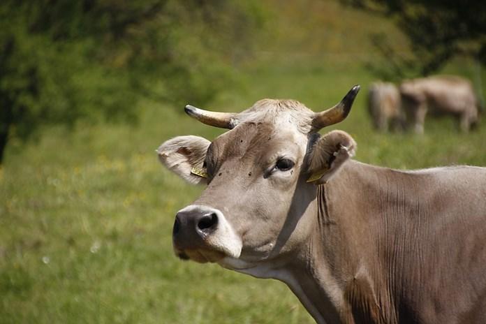 Rajasthan govt to honour those adopting stray cows on Jan 26, Aug 15