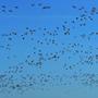 Botulism kills thousands of migratory birds in Rajasthan