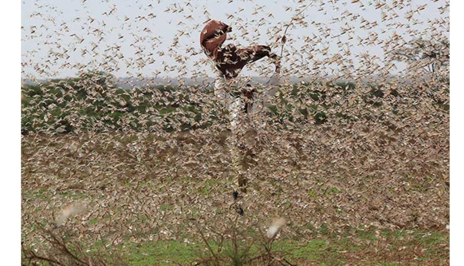 Farmers of both sides suffer locust attack as tensions rise between India and Pakistan