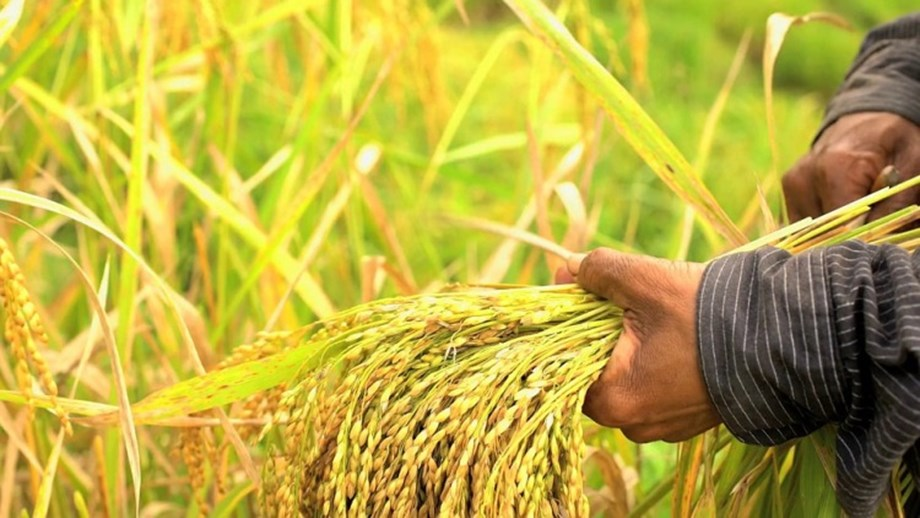 Effect of extreme climatic conditions on yield of staple crops calculated by researchers