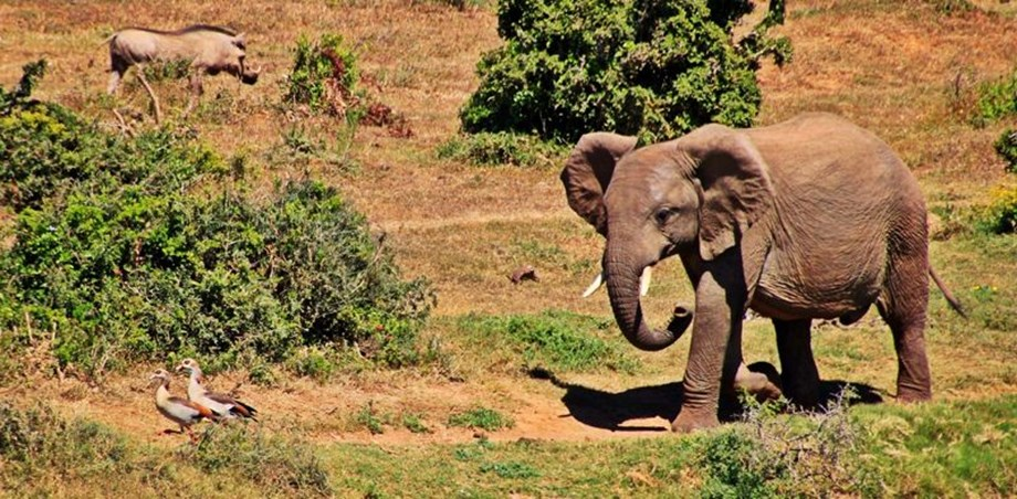 Elephant in Tiger chase baffled rangers, run into deep forests