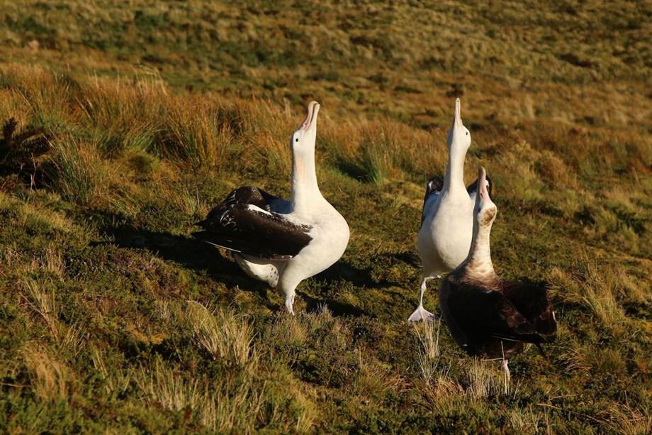 Giant mice killing over 2 million rare birds on Gough islands