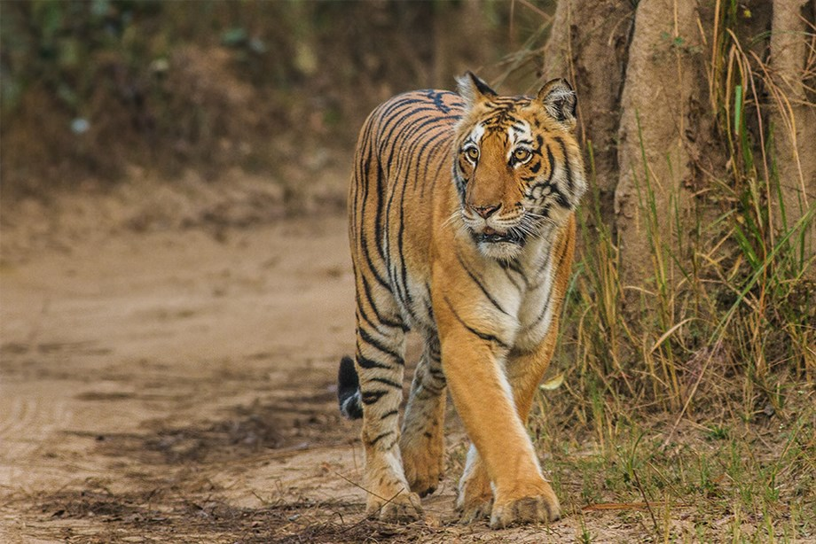MP: Cub possibly killed by tiger to attract mother tigress