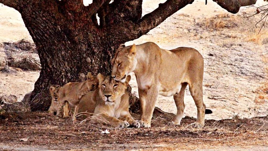 Gujarat Forest department formed 64 teams to shift sick lions to rescue centers