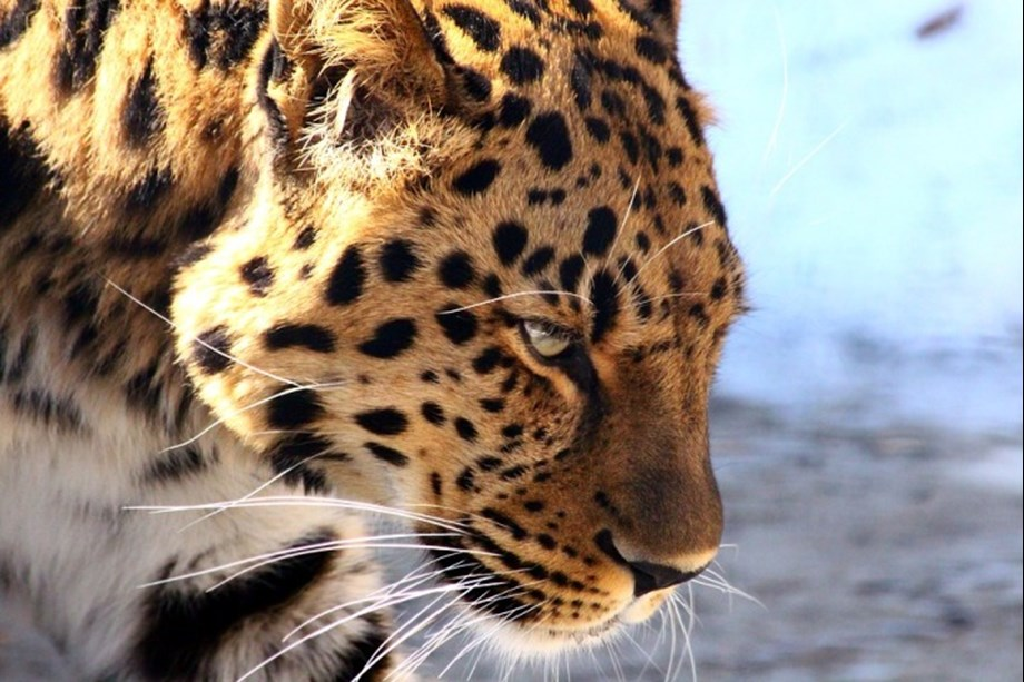 Minor girl attacked by leopard in Nashik