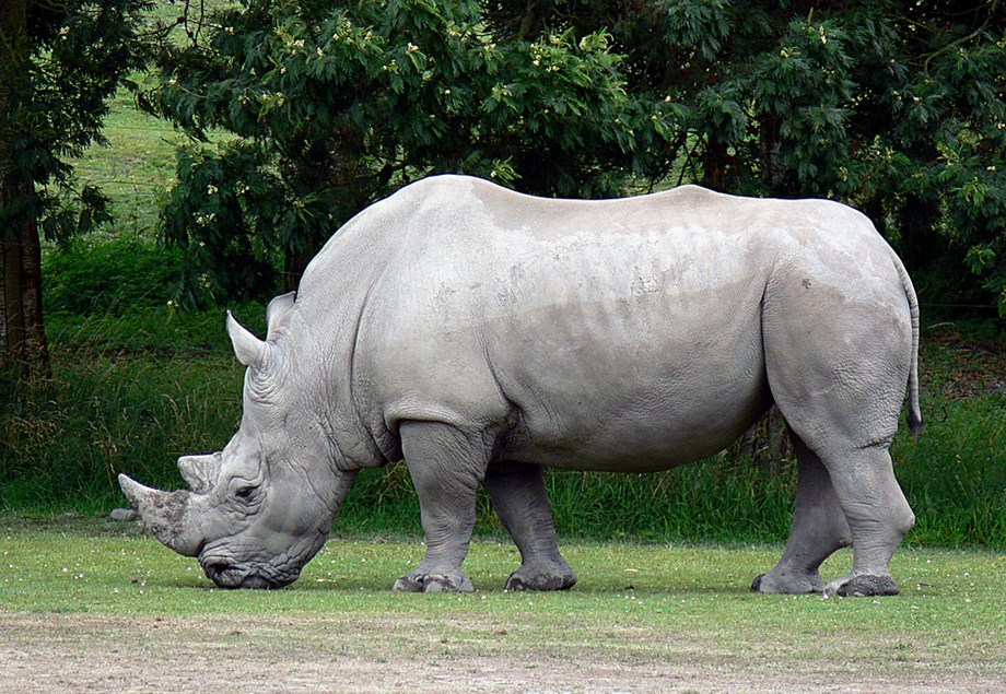 World's oldest captive white rhino dies in French zoo