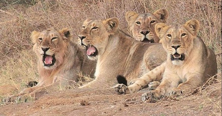 Asiatic Lions pair shifted to Indroda Nature Park in Gujarat