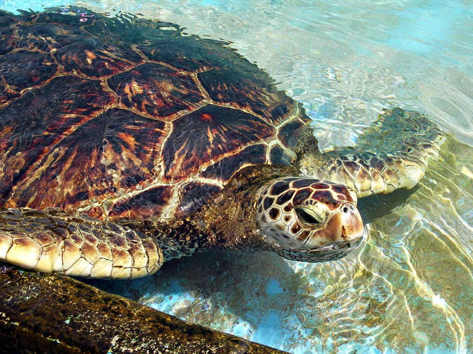 Thailand helps sea turtle swim again with prosthetic flippers