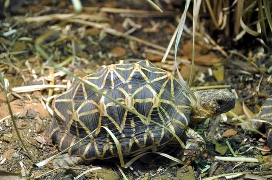 51  illegally trafficked Indian star tortoises repatriated from Singapore