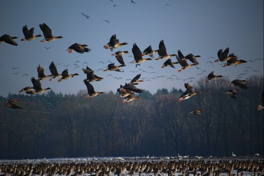 With onset of winter, hundreds of migratory birds begin arriving in Gharana Wetland in Jammu