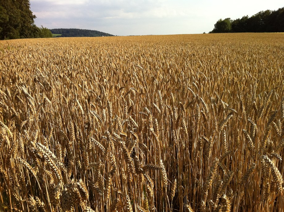 Sudan: African Development Bank's TAAT wheat program yields significant results