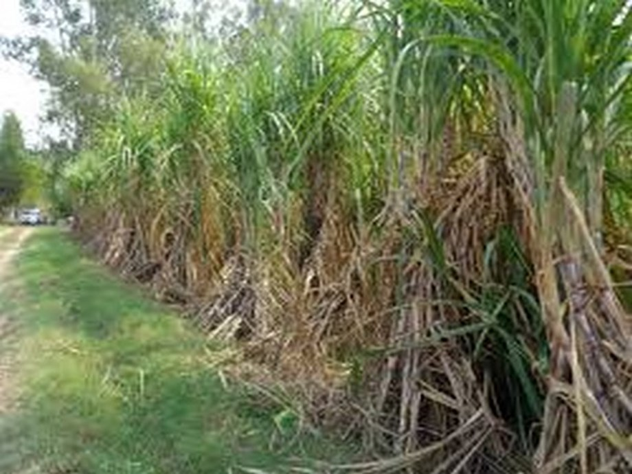 UP: BKU threatens to launch agitation against 'unacceptable' sugarcane MSP