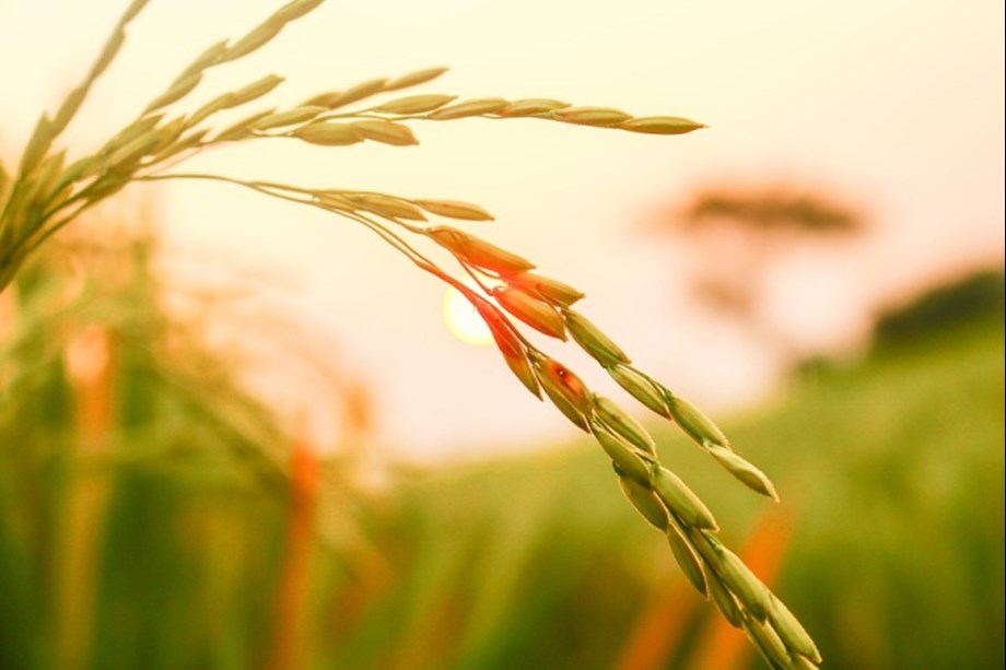 Iraq in latest international purchase buys 60K tonnes rice from Brazil