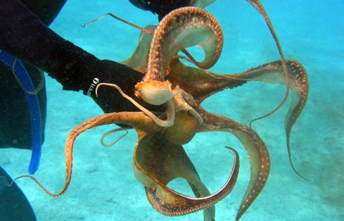 Large cluster of brooding deep-sea octopuses found off California coast