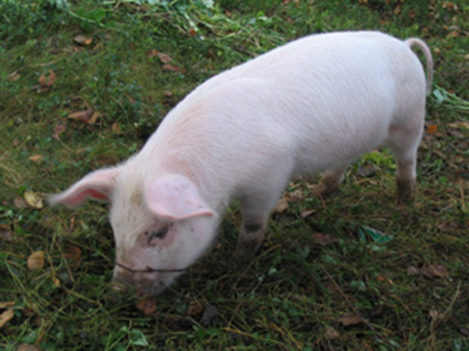 African Swine Fever: NW Farm placed under quarantine by veterinary services