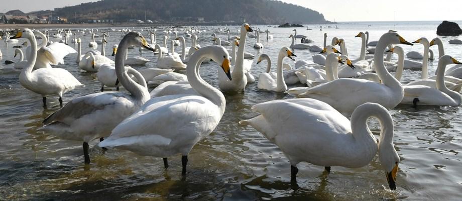 Bird flu hits swans in China's Xinjiang region - ministry